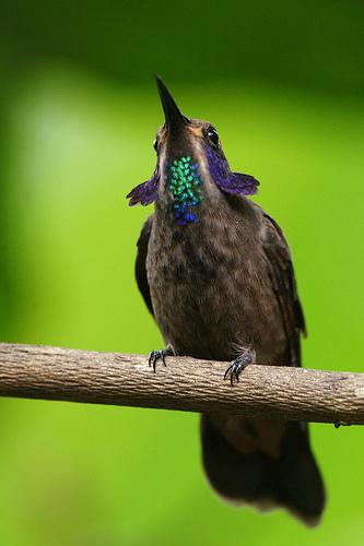 brown violetear, Colibri delphinae