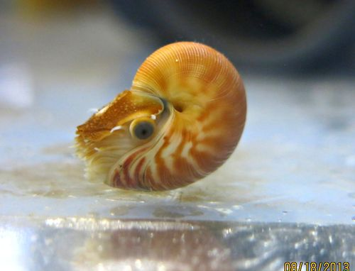 Adorable Baby Nautilus Born at the Birch Aquarium at Scripps