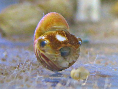 baby nautilus (4)