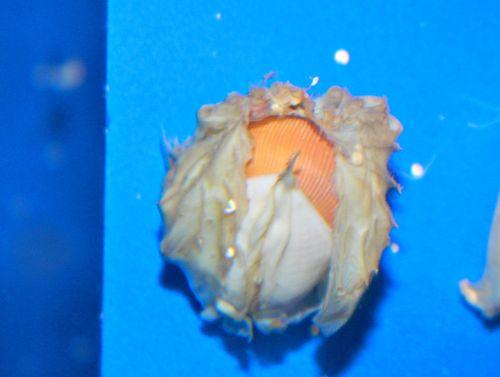 baby nautilus (2)