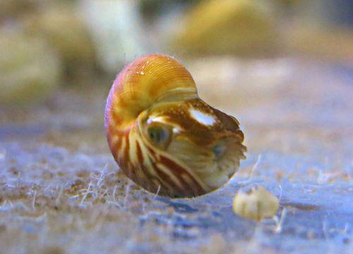 baby nautilus (6)