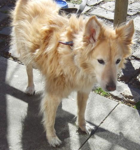 golden retriever husky mix, mixed breed (6)