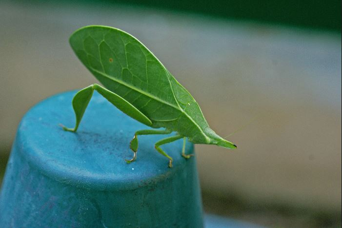 Spike-headed false-leaf katydid, Aegimia elongata,