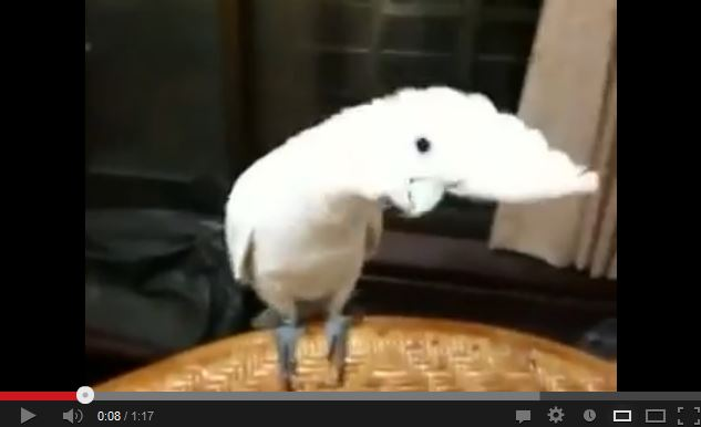 Cockatoo Dances to Gangnam Style