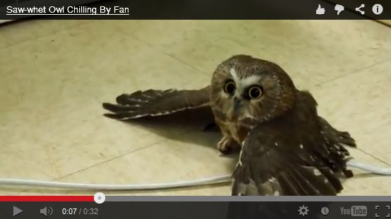 Saw-whet Owl Chills By a Fan – SO CUTE!