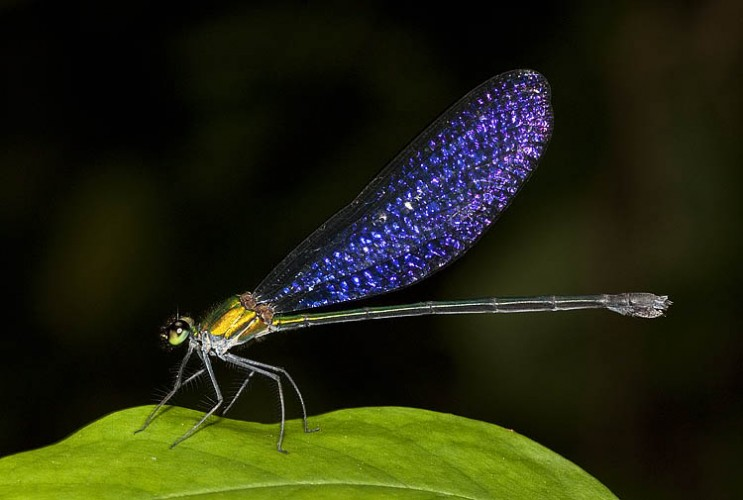 Drop-dead Gorgeous Damselfly Sparkles Like a Thousand Gemstones