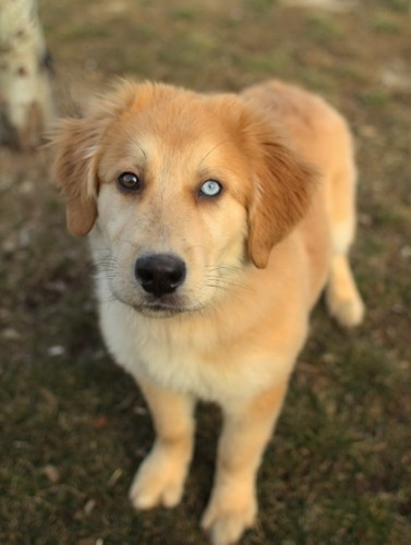 golden retriever husky mix, mixed breed (5)