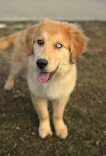 Mixed Breed Spotlight: Golden Retriever Husky Mix ...
