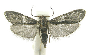 sloth moth, Cryptoses choloepi, little-known facts