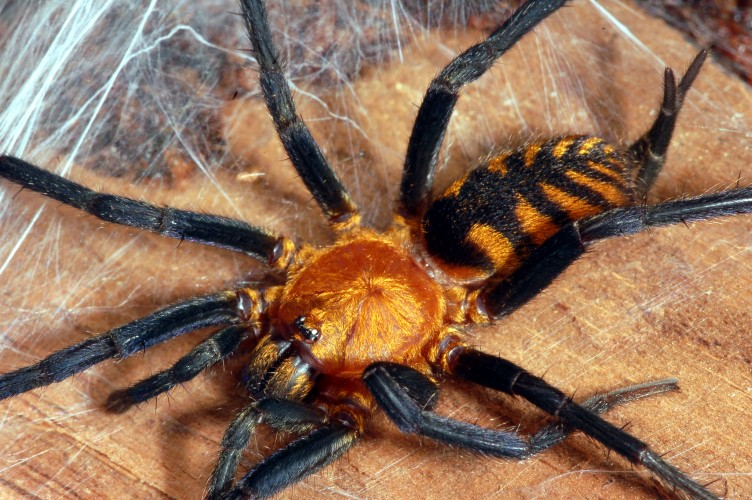 tiger spider, Linothele fallax (1)