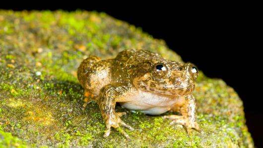 Wayanad night frog, Nyctibatrachus grandis, happy frogs (3)