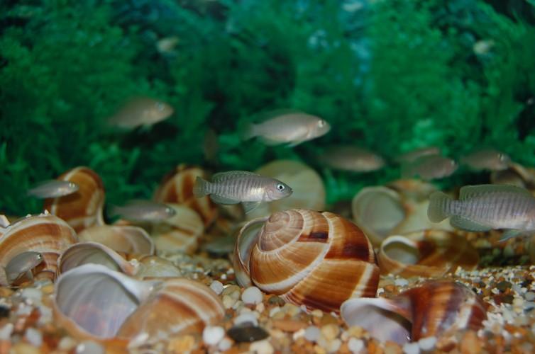 Tanganyikan dwarf cichlids, Neolamprologus multifasciatus (4)