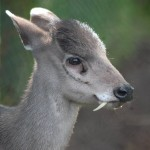 Rare, Fang-tastic Tufted Deer Shocks With Its Huge Canines