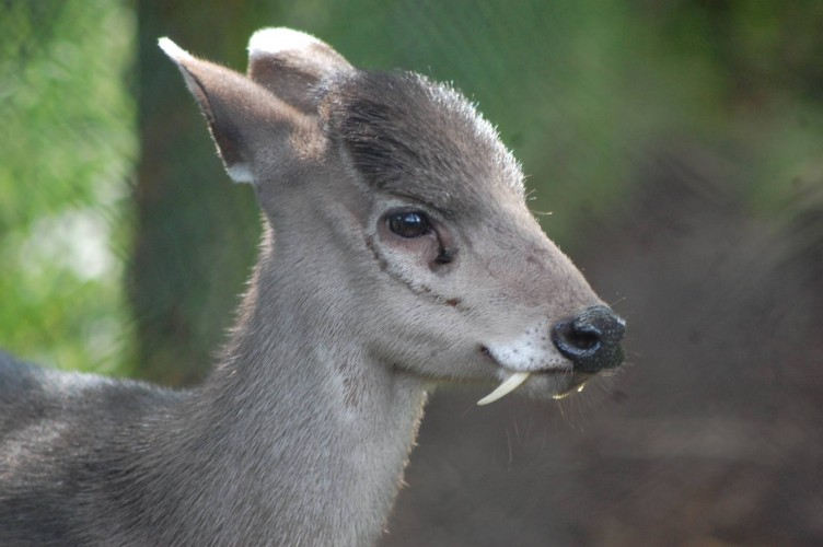 tufted deer, Elaphodus cephalophus (2)