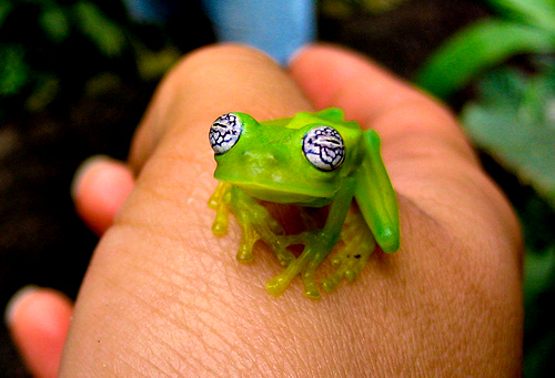 Watch Out, This Ghost Glass Frog's Got the Crazy Eyes!!