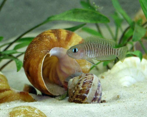 Lake Tanganyika Dwarf Cichlids Call Snail Shells Home