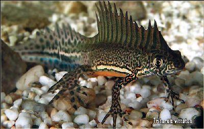 Triturus vittatus, southern banded newt (3)