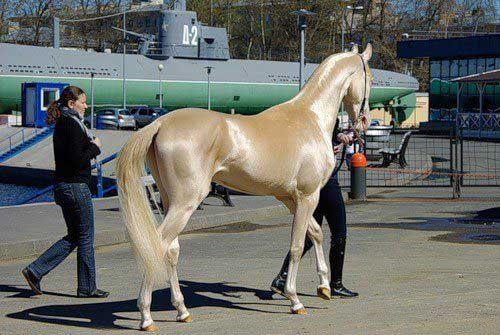 Akhla-Teke, golden horse (3)