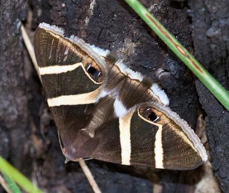Grammodes oculicola, moth (2)