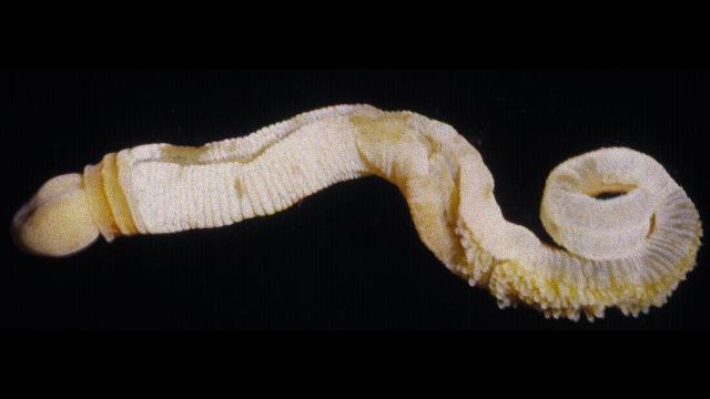 acorn worm (5)