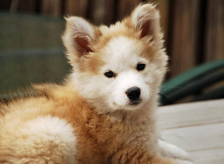 golden retriever husky mix, mixed breed (4)