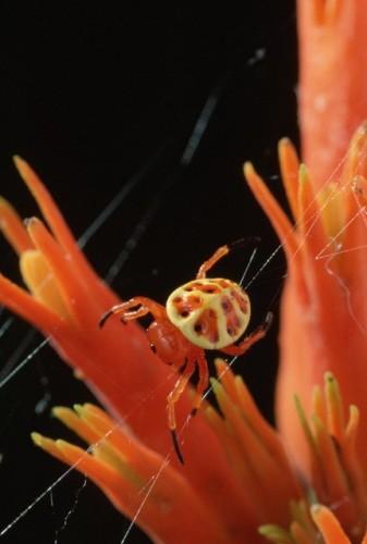Encyosaccus sexmaculatus, orb-weaver (2)