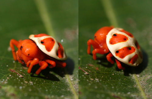 Bizarre Orb-weaver Spider Looks Just Like a Super Mario Bros. Koopa Shell!