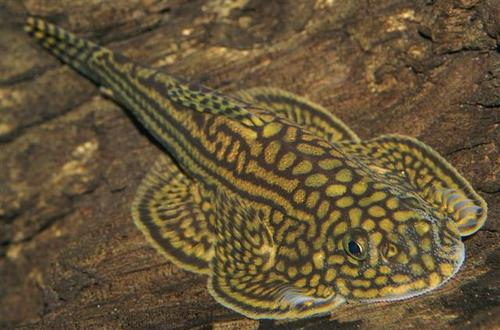 Sewellia lineolata, reticulated hillstream loach, butterfly fish (2)