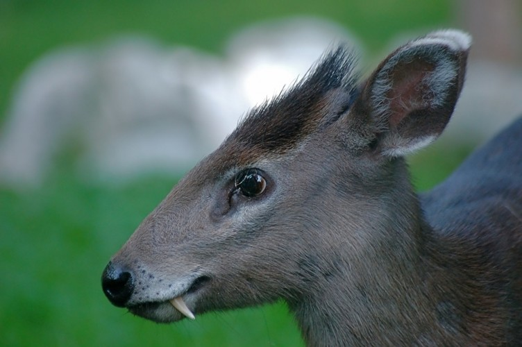 rare fang tastic tufted deer shocks with its huge canines featured