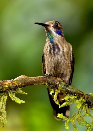 A Little Drab But Still Fab: Brown Violetear Hummingbird