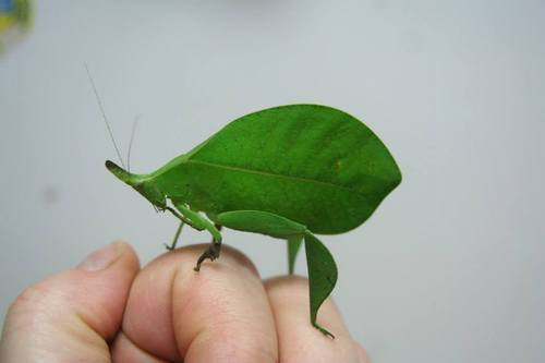 UnbeLEAFable Katydid Mimics a Green Leaf to Perfection!