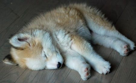 golden retriever husky mix, mixed breed (2)