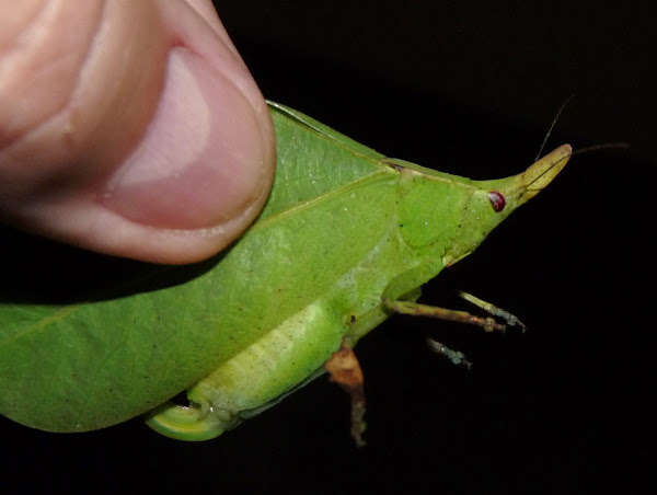 Spike-headed false-leaf katydid, Aegimia elongata