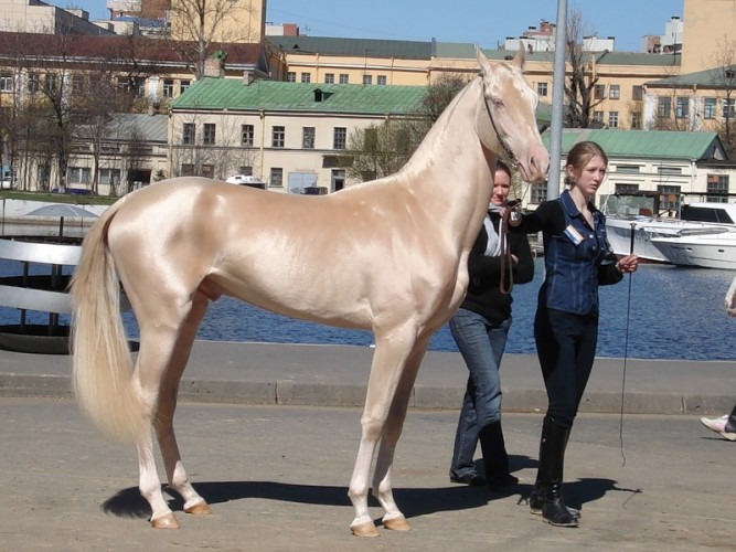 Supermodel of the Horse World: the Golden Akhal-Teke
