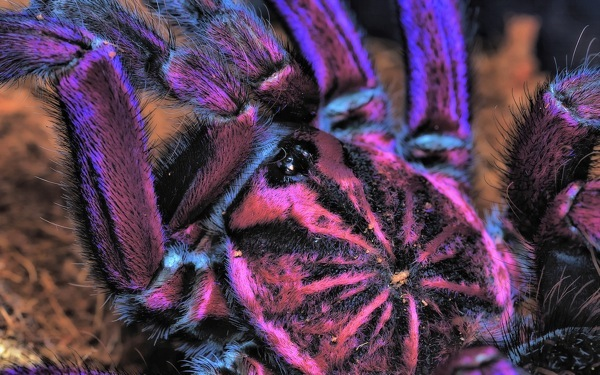 Shockingly Gorgeous Brazilian Pinkbloom TARANTULA Wows with its Purple Hue!