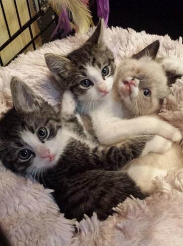 sir stuffington, kitten, raccoon attack (6)