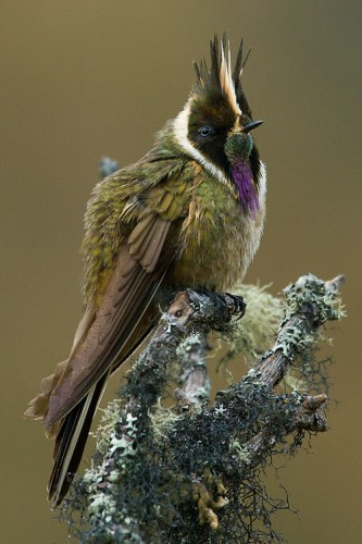 bearded helmetcrest