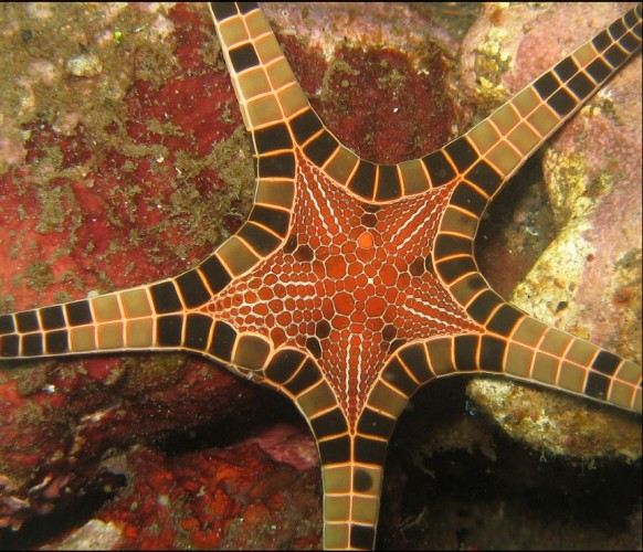 Iconaster longimanus, icon starfish (4)