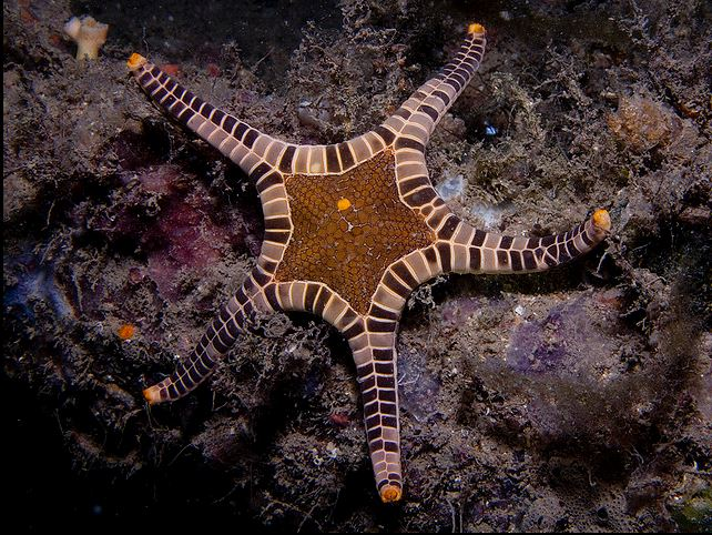 Iconaster longimanus, icon starfish (3)