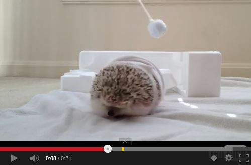 "Watch this Chunky Hedgehog Reenact Miley Cyrus' ""Wrecking Ball"" Video"