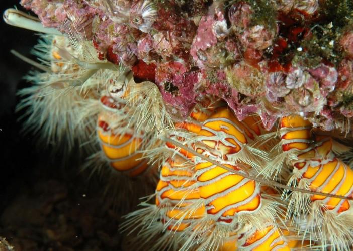 Aniculus maximus, crustaceans