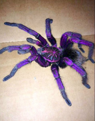Pamphobeteus sp, purple tarantula (3)