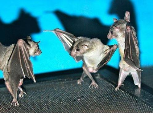 Flipping Photos of Bats Makes Them Exceptionally Sassier – Now Find Out Why!