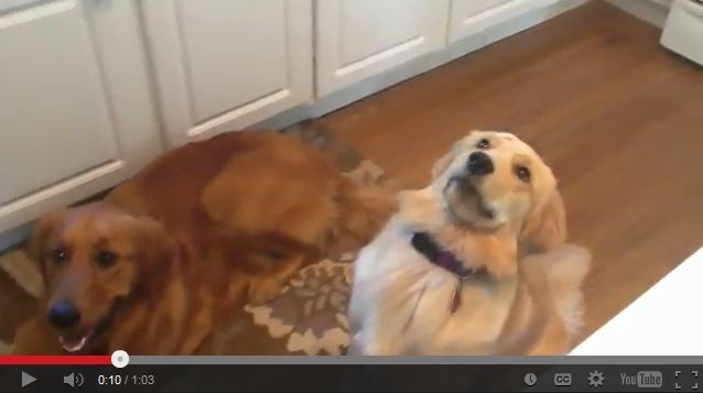 Sophie the Golden Retriever Fails at Catching Cheerios