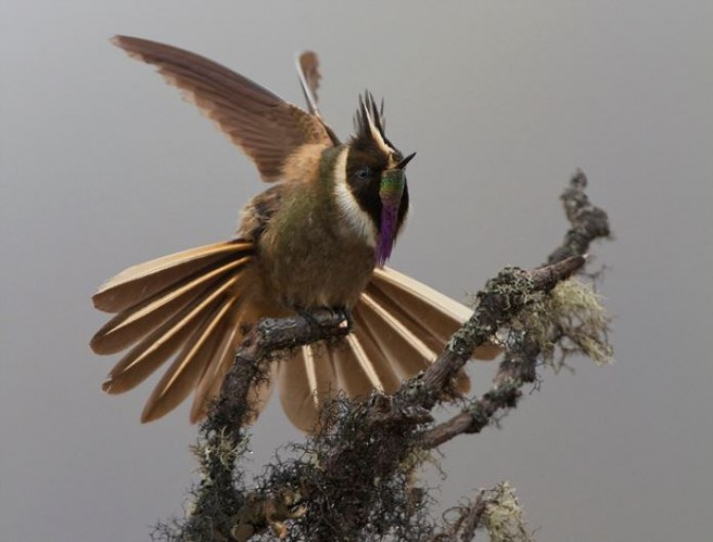 bearded helmetcrest, Oxypogon guerinii (4)