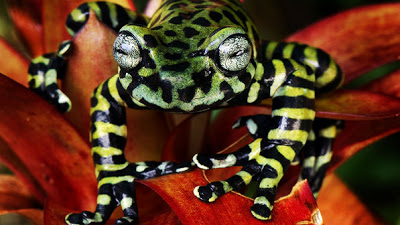 Newly Described Tiger's Treefrog Is Striped and Stunning