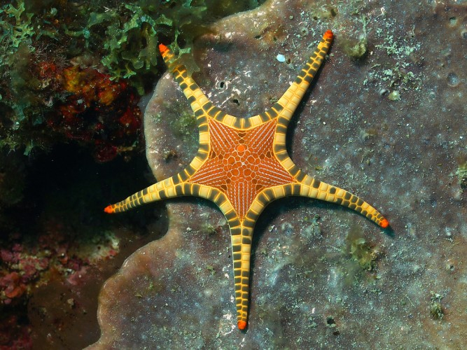 "Iconaster longimanus: the most ""Iconic"" Starfish of the Sea"