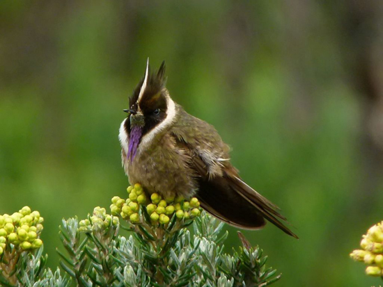bearded helmetcrest, Oxypogon guerinii (2)