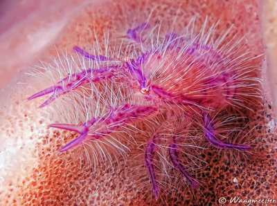 pink hairy squat lobster, crustaceans