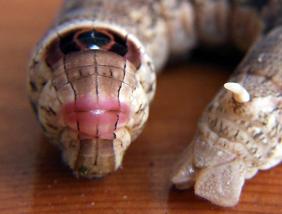 little shop of horrors, hornworm, Alope Sphinx, Erinnyis alope (1)